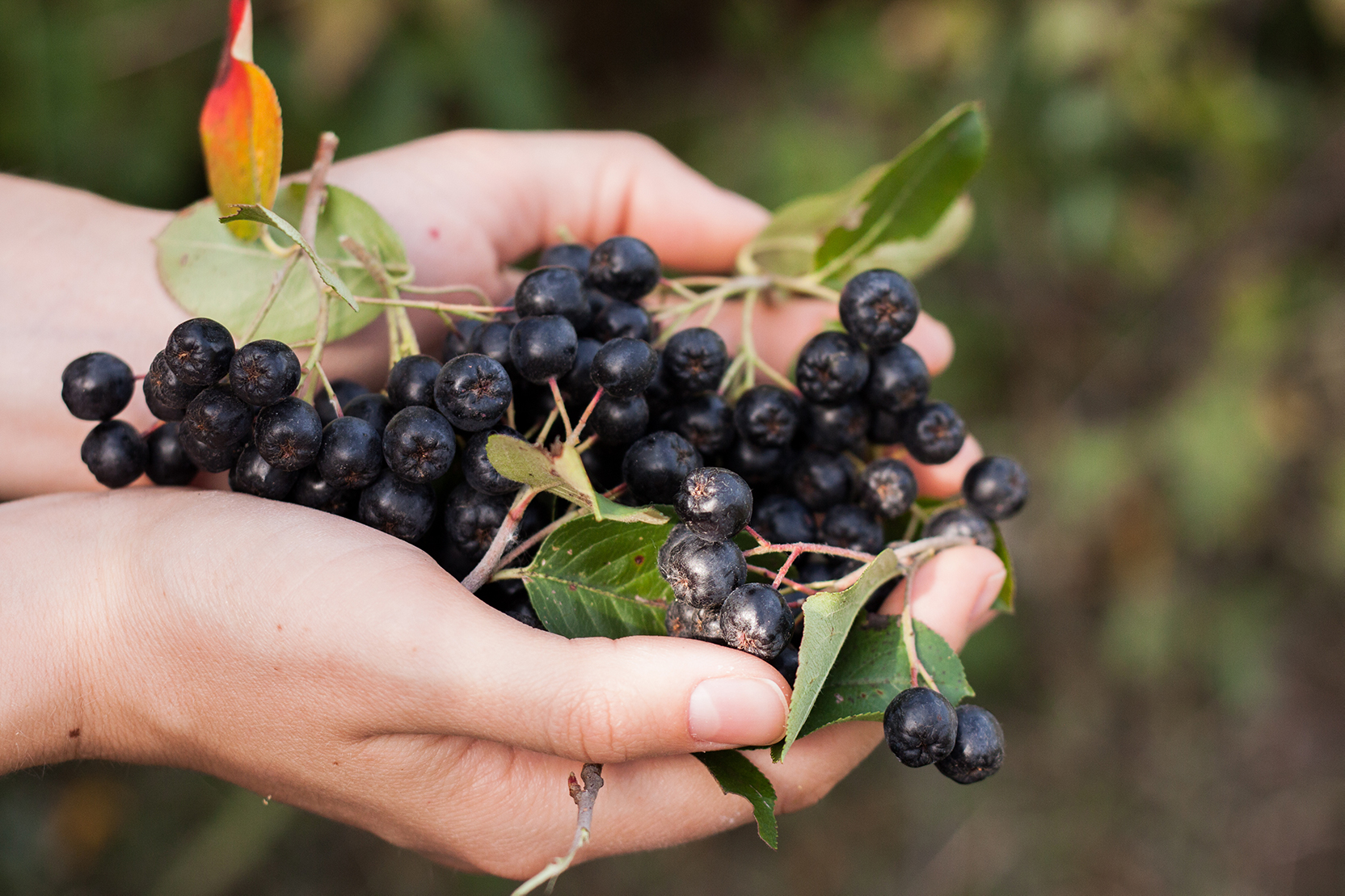 New meta analysis confirms significant clinical cardiovascular benefits of aronia berry